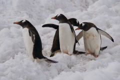10. Gentoo penguins