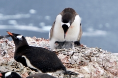 12. Mother Gentoo and chicks