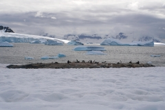 15. Gentoo colony at Culverville