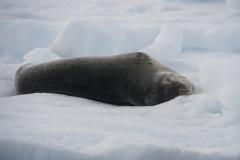 18. Leopard Seal