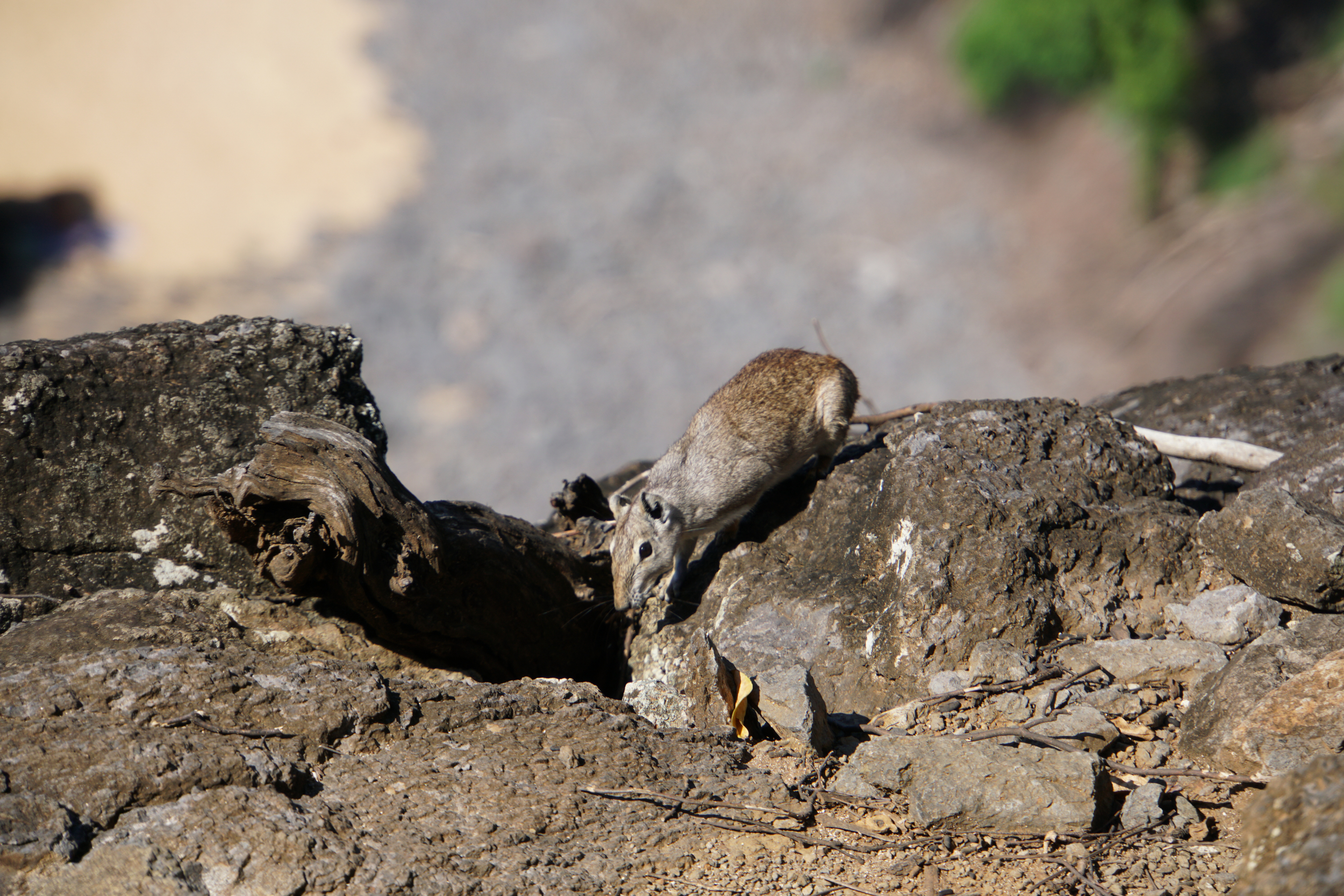 36. Cavy on the rocks of Noronha