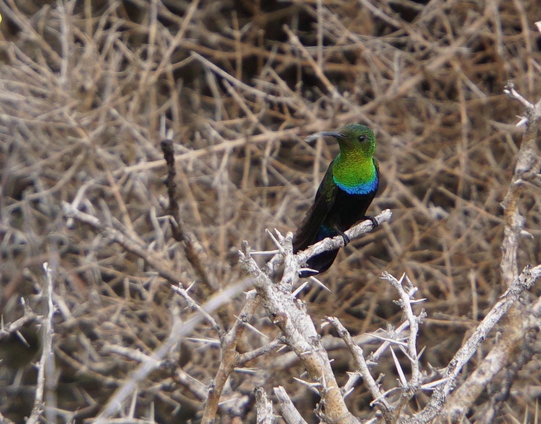4. Green Hummingbird
