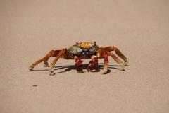 32. Local Sally Lightfoot Crab