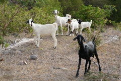 5. Goats at Indian Creek