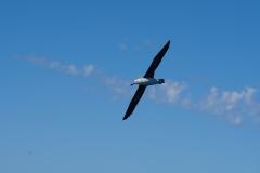 14. Wandering Albatross