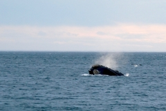 15. Southern Right Whale