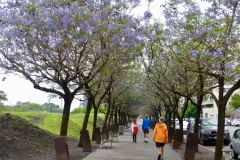 3. Jacaranda trees in Buenes Aires
