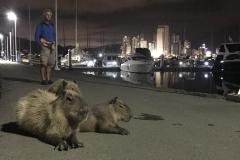 59. City Capybara, Itajai