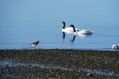 8.-Black-necked-Swan-and-Oystercatcher