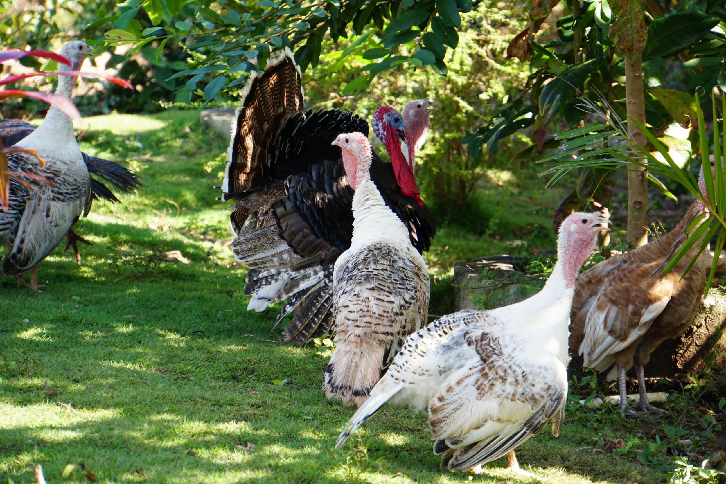 21. Turkeys