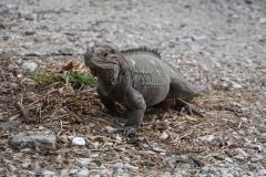 65. Rhinoceros iguana