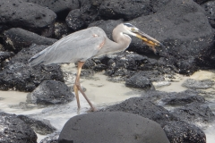 14. Small iguana lost fight, great heron lunch
