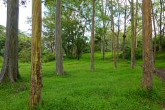 13.-Rainbow-Eucalyptus-trees