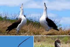 9.-Laysan-Albatross-mating-dance-at-Kaena-Point