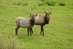 2.-Elk-