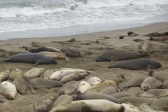 7.-Elephant-Seals