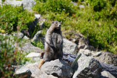 20.-Marmot-at-White-Pass