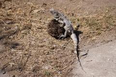 3. Land Iguana Isla Isabella Mexico