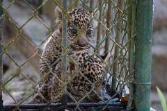 42. Jaguar cubs..cute!