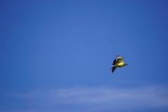 44. Little yellow bird flutters by