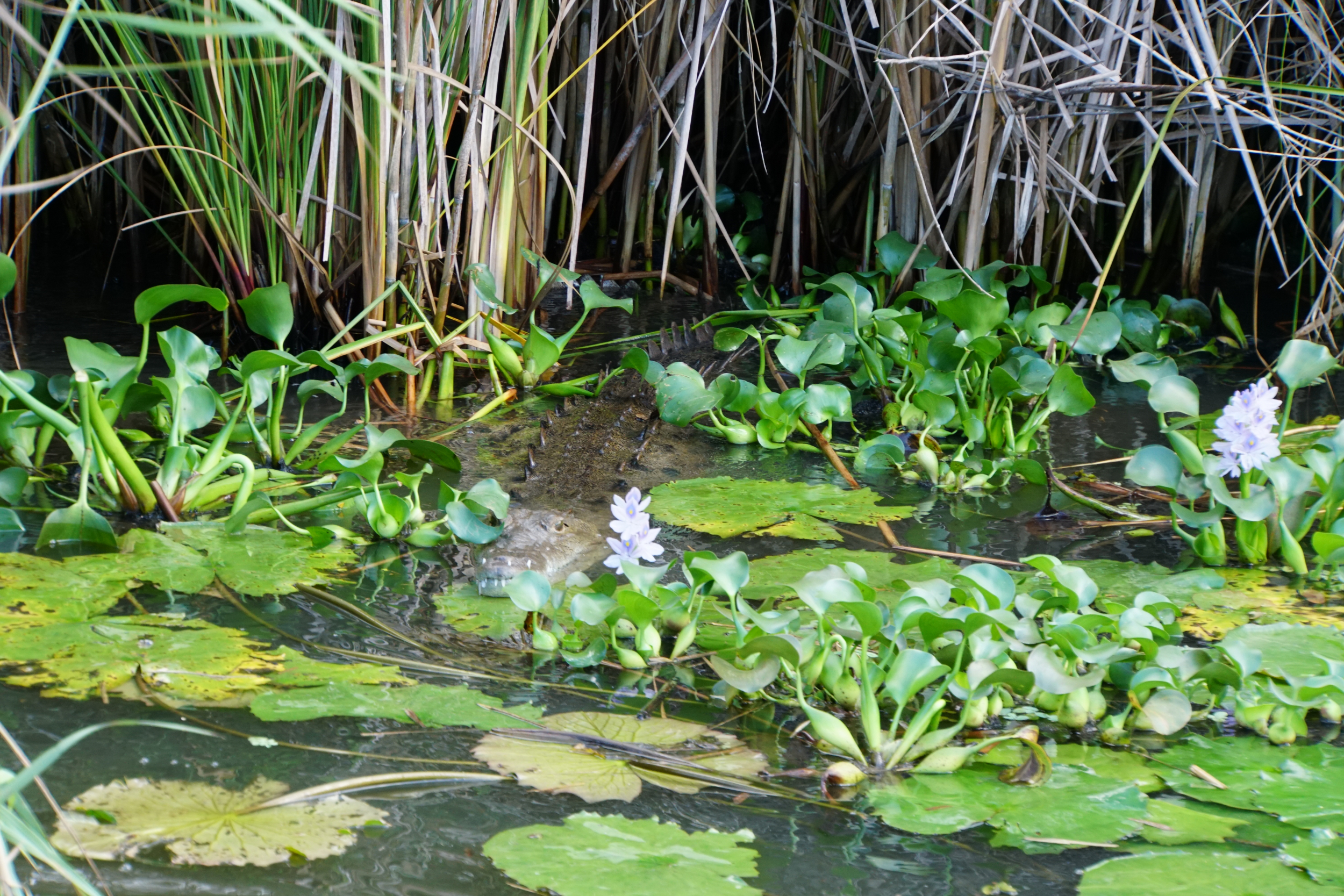 46. Alligator in the lillies
