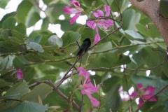 26. Swallow Tailed Hummingbird, Jamaica National Bird