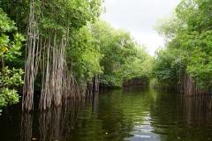 49. Mangroves on Black River