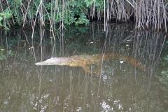 50. Alligator in the mangroves