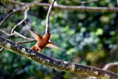 14.-Juan-Fernandez-firecrown-hummingbird