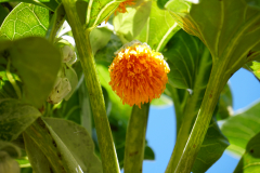 17.-Cabbage-tree-one-of-the-flowers-the-JF-hummingbirds-feed-on.