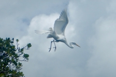 14. Great white Heron