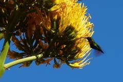 15. Green Hummingbird