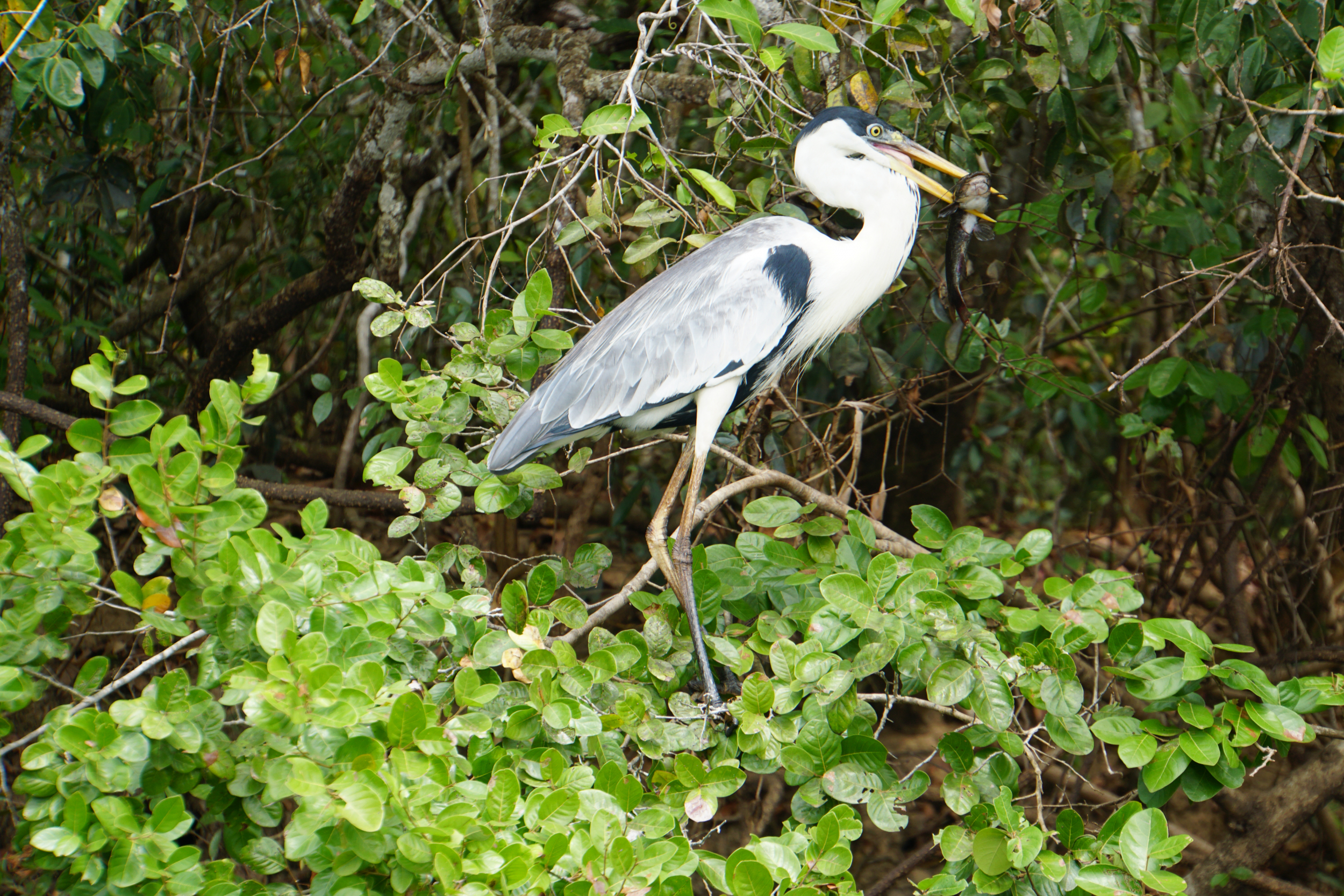 24. Heron with dinner