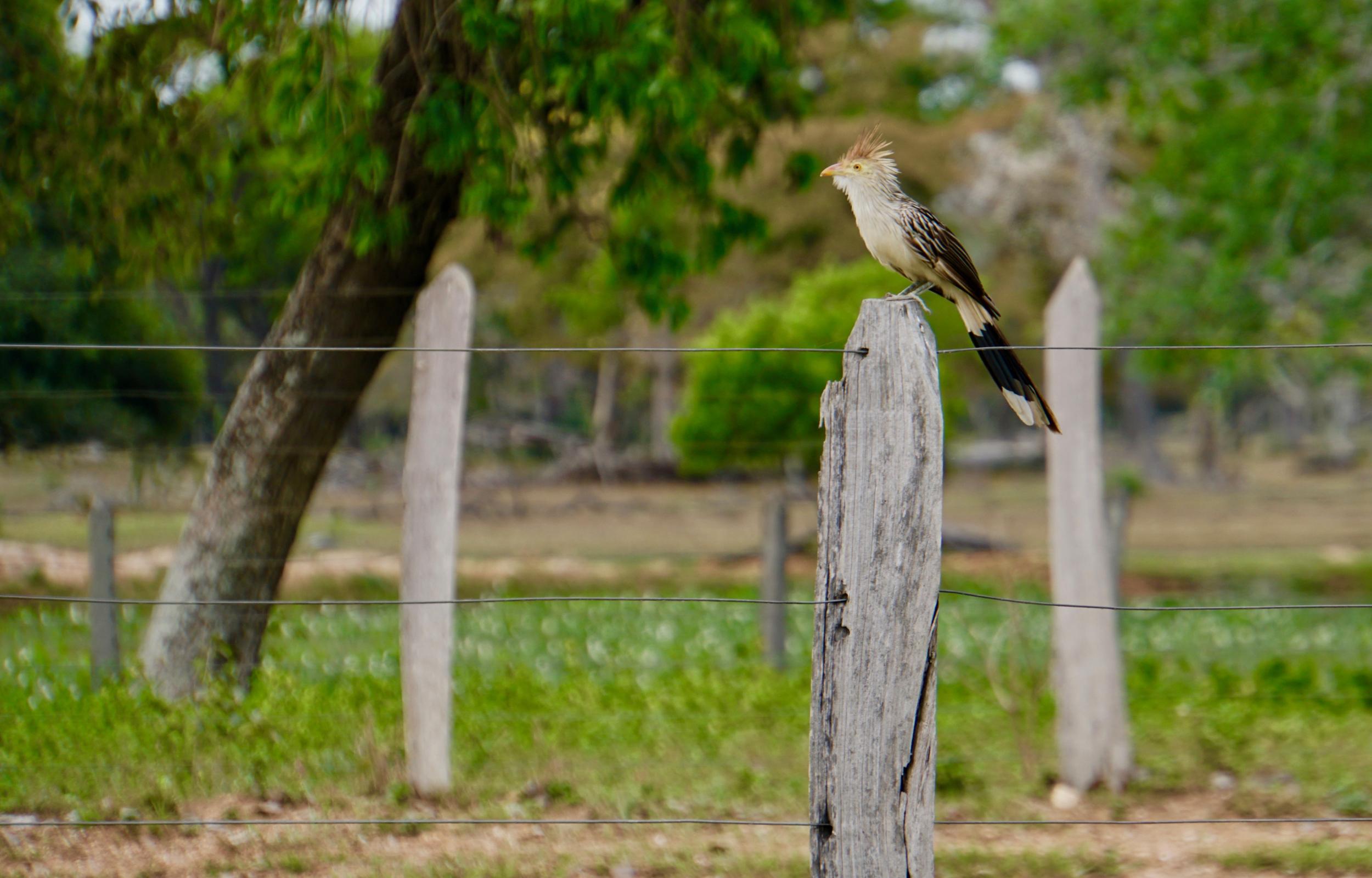 29. Cuckoo bird