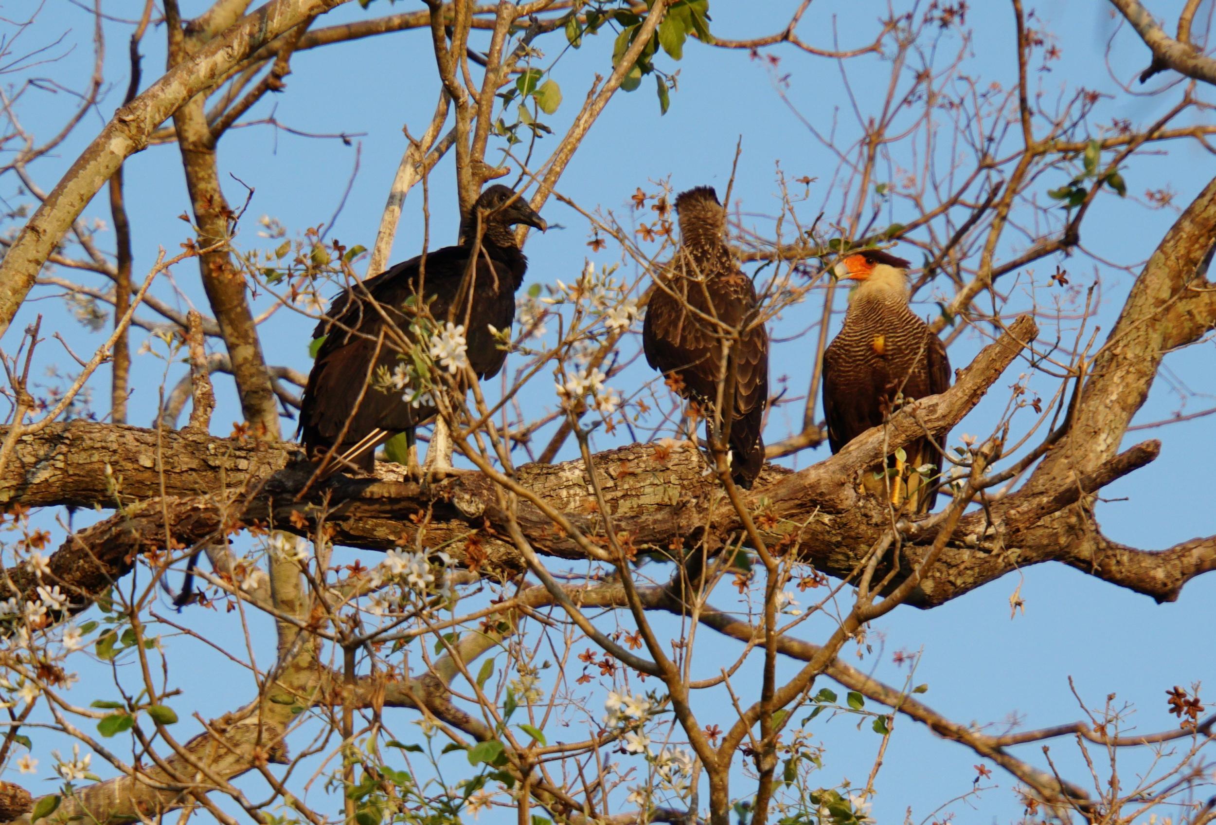 34. Black Vulture and Caracara