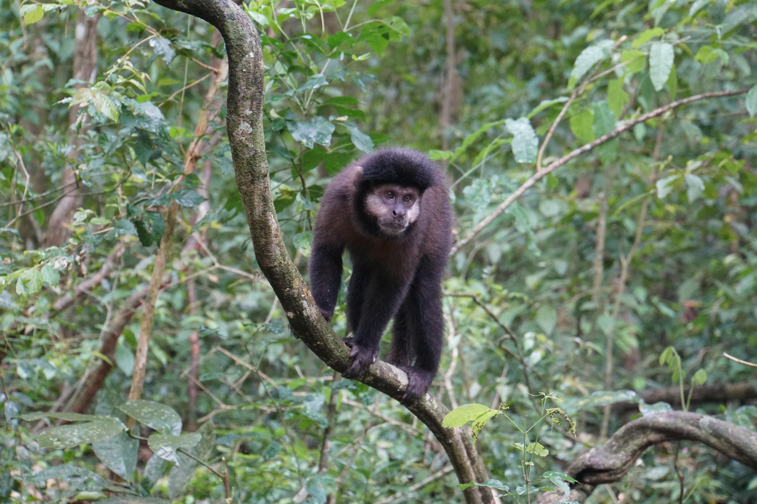 56. Capuchin Monkey at Iguacu