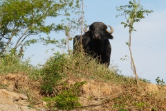 13. Water Buffalo