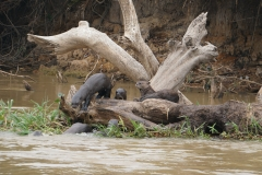18. Giant Otter