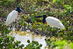 2. Jabiru Stork