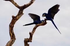 26. Hyacinth Macaw