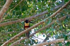 4. Chesnut eared Aracari