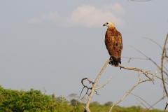 5. Black collared Hawk
