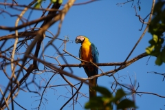 51. Blue and yellow Macaw