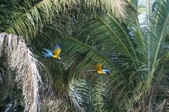 52. Blue and yellow Macaw