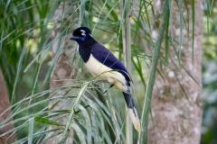 58. Plush Crested Jay at Iguacu