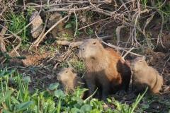 6. Capybara