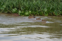 7. Capybaras swimming