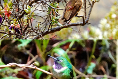 18.-Hummingbirds-in-the-cloud-forest-along-the-trail