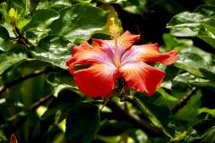 13.-Hibiscus