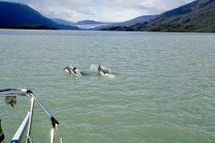 13.-Dolphin-escort-into-Seno-Iceberg
